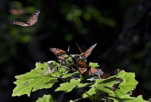 Food and Farm Monarch Butterflies Pollinators_86291