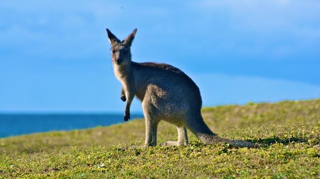 kangaroo_119400