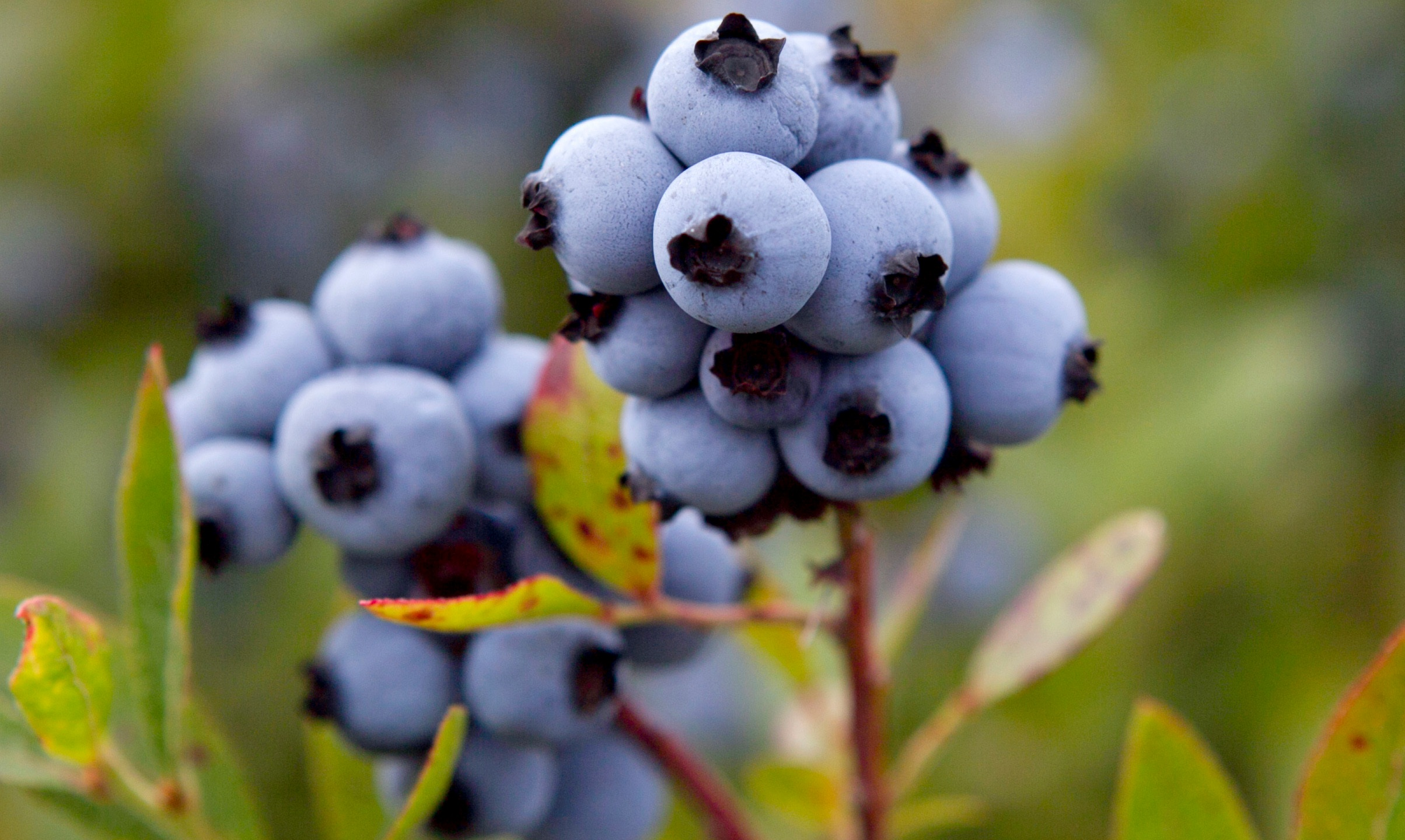 Blueberry Bailout_178132