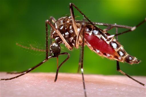 Aedes aegypti mosquito_168238