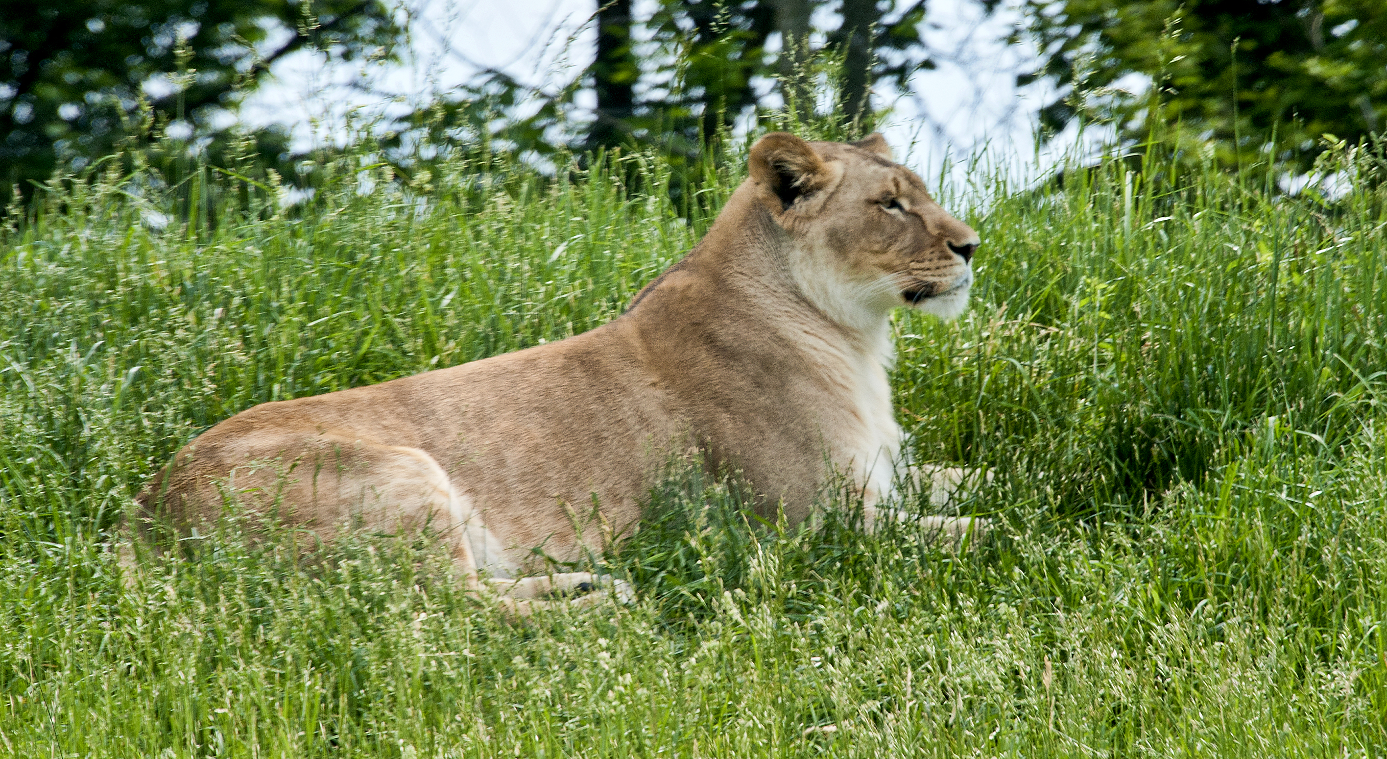 Image of Ina the lion from the Fort Wayne Children's Zoo.