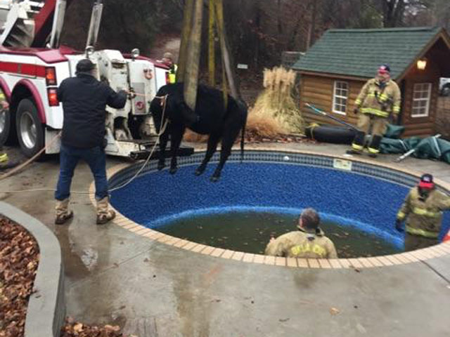 Cow rescued from pool_233840