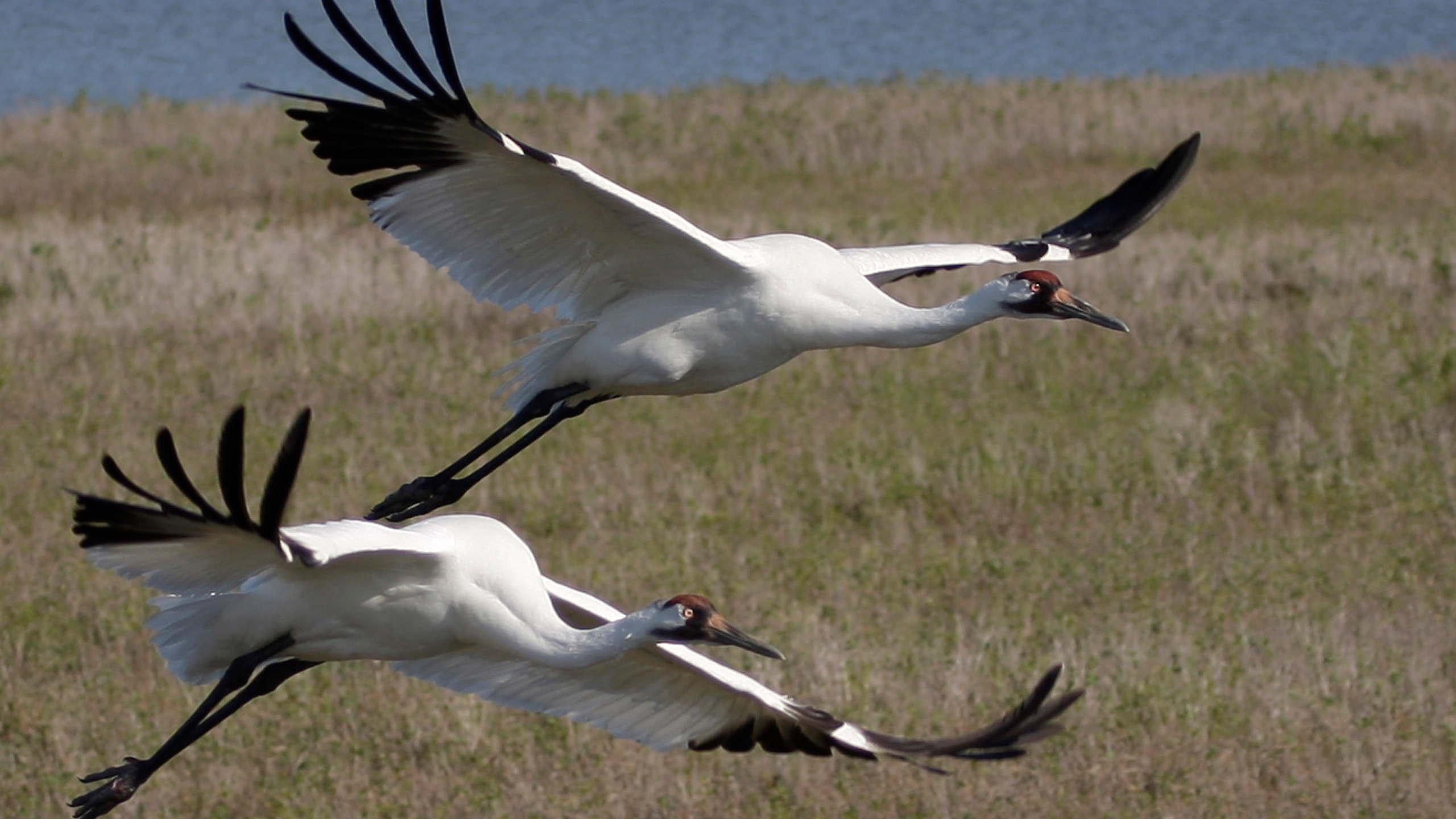 Scrappy Whooping Crane_231544
