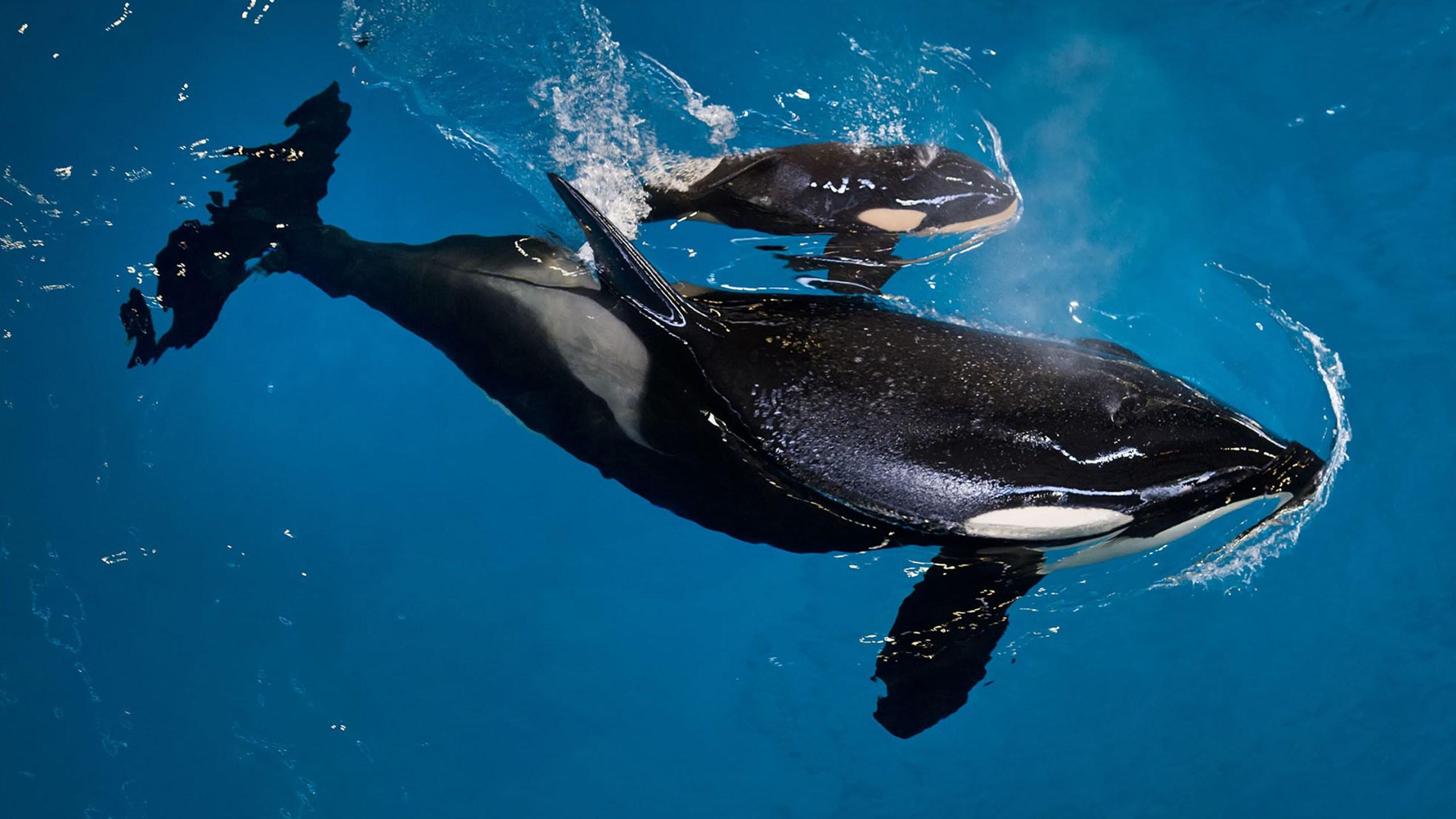 SeaWorld Last Orca Bi_Carr_255139