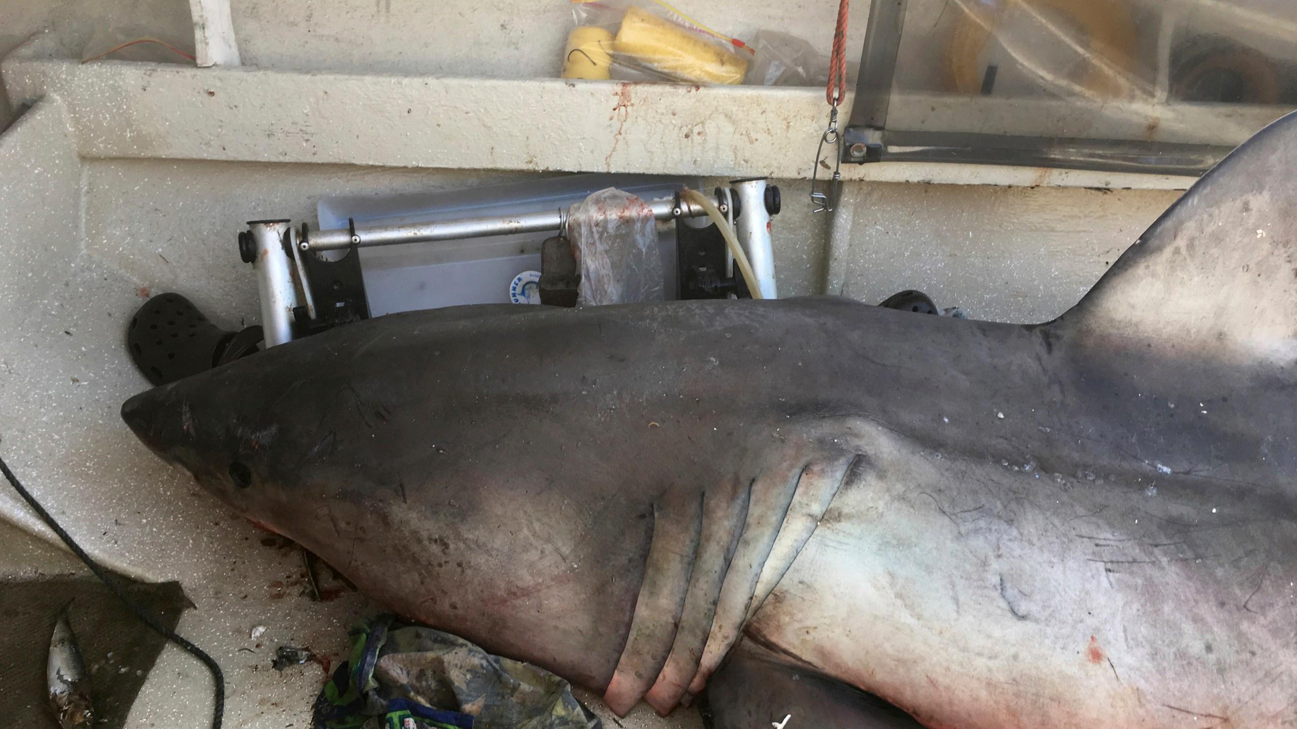 Australia Leaping Shark_262139