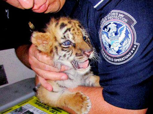 Smuggled Tiger_278586