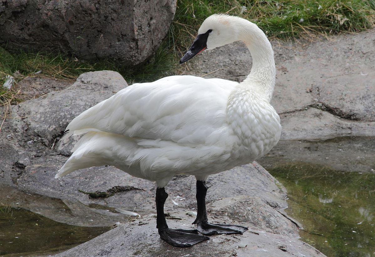 Trumpeter swan_275678