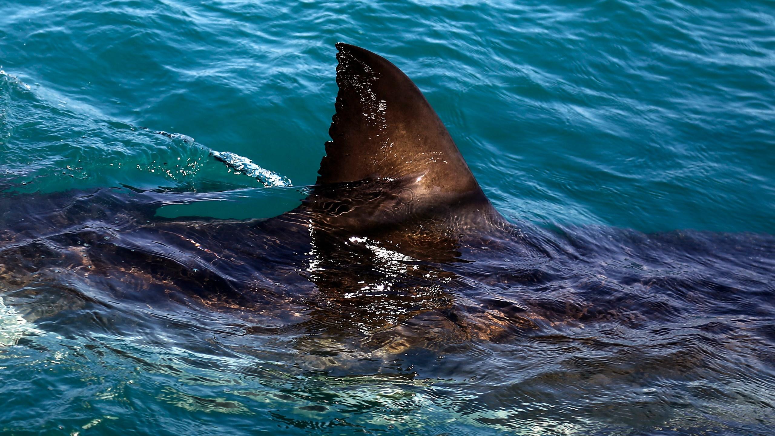 TV Phelps vs. Shark._272354