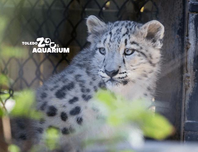 Toledo Zoo snow leopard_287341