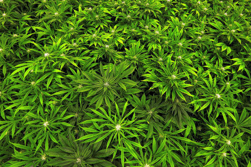 Marijuana Health Effects_233131