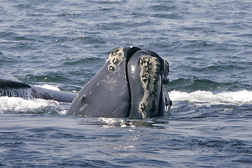 Right Whale Deaths_300800