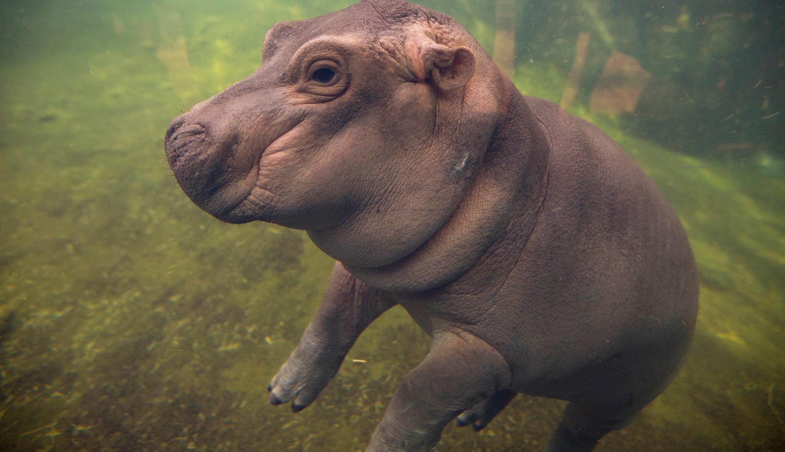 Zoo-Baby Hippo Facebook Show_278857