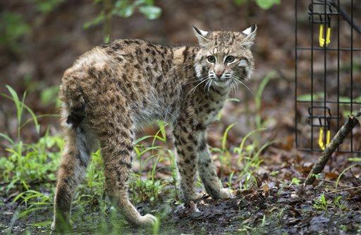 Bobcat Kitten Recovery