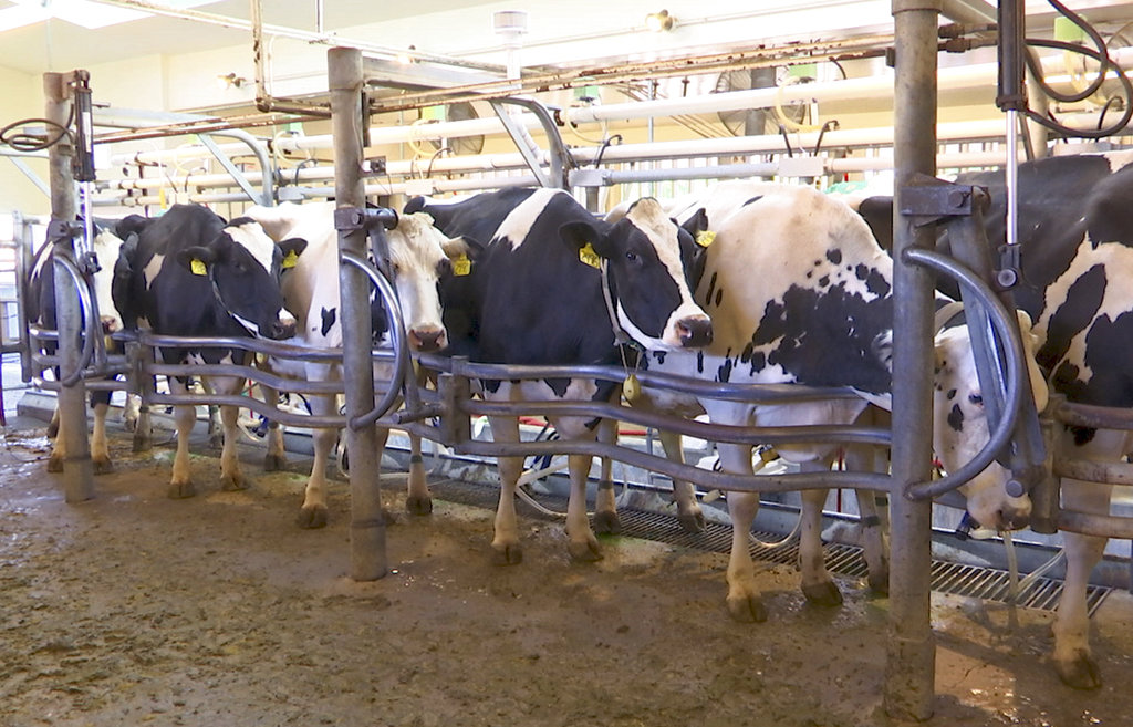 Cattle Emissions Seaweed_1535740548743