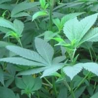 Indiana lawmakers discuss medical marijuana