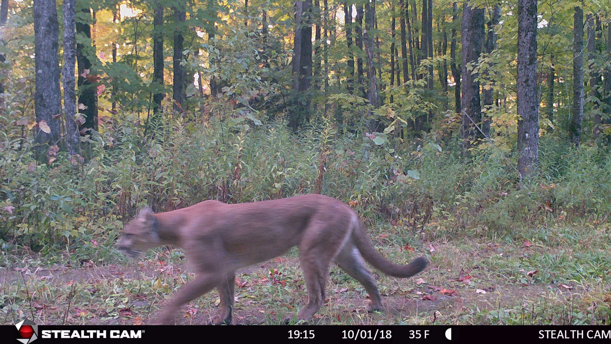 cougar two.jpg