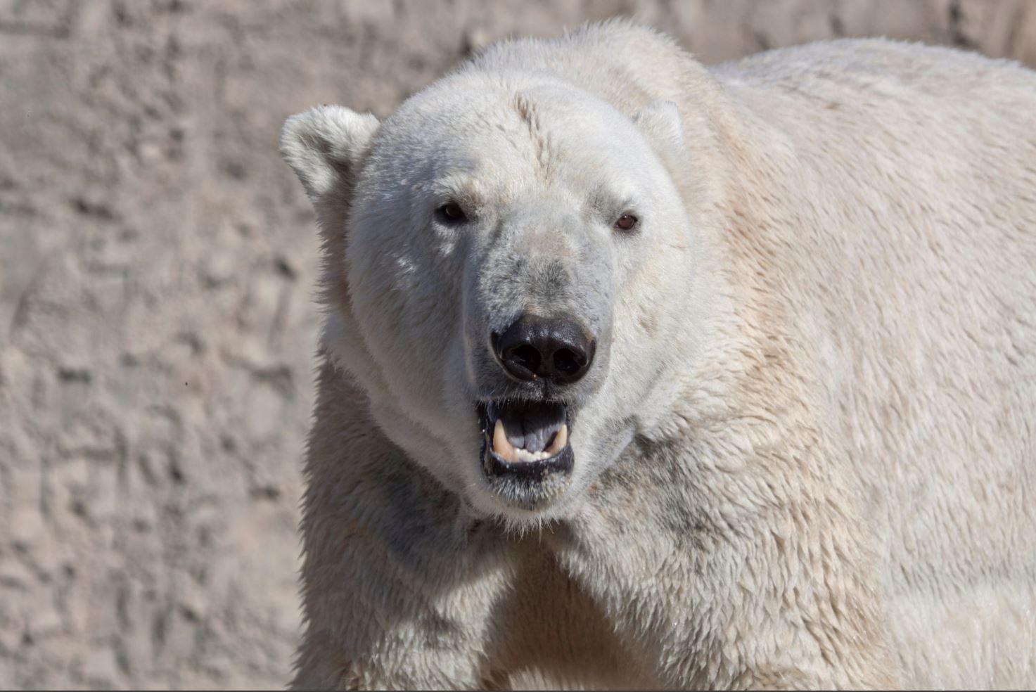 Lee polar bear Columbus Zoo_1542037459898.JPG.jpg