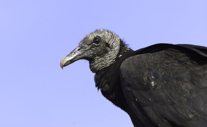 Black Vultures Calves_1542994685716