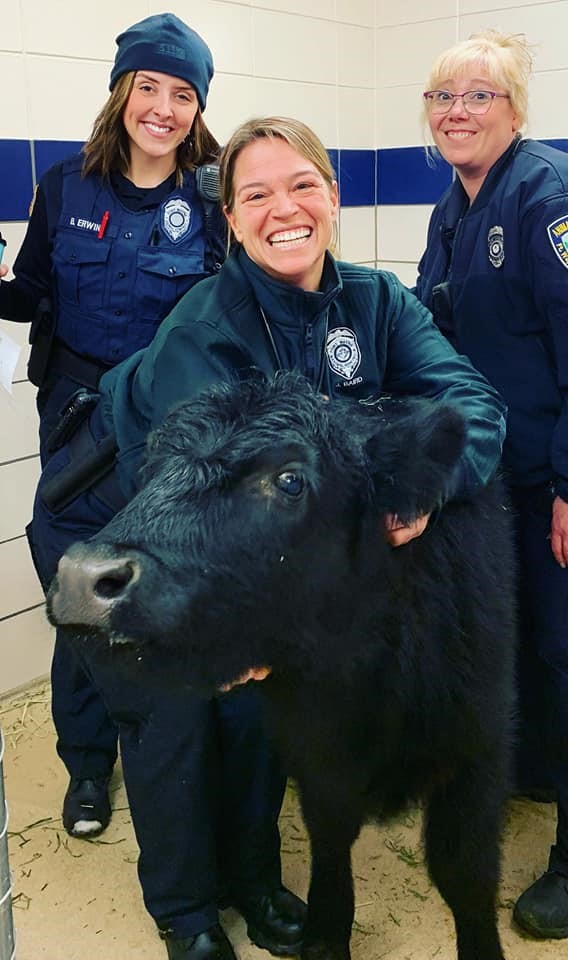 Animal Care Control cow_1547497301056.jpg.jpg