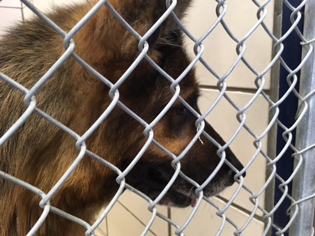 Great Dane German Shepherd breeding animal care control rescue_261023