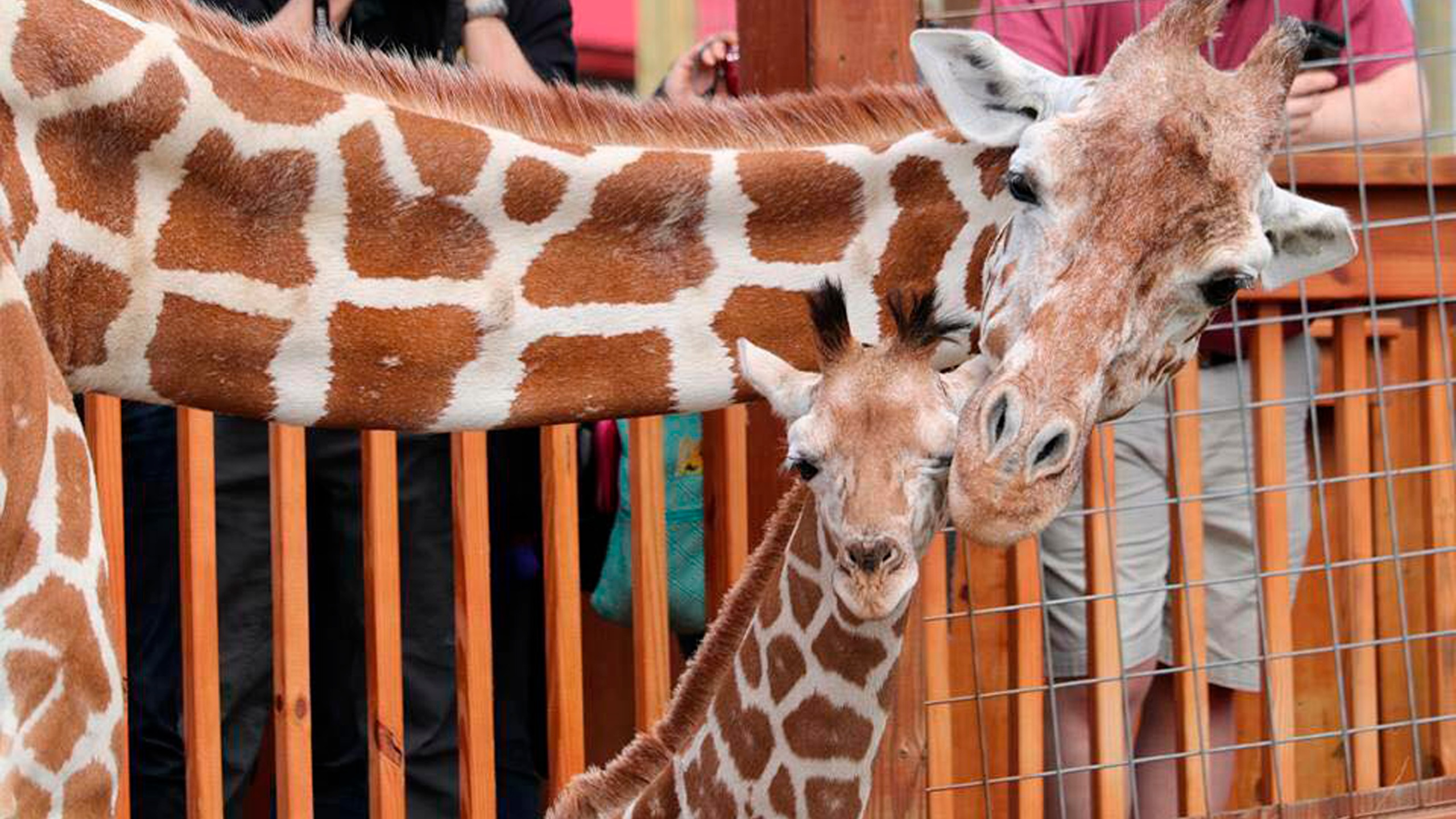 April the Giraffe_1552480889819