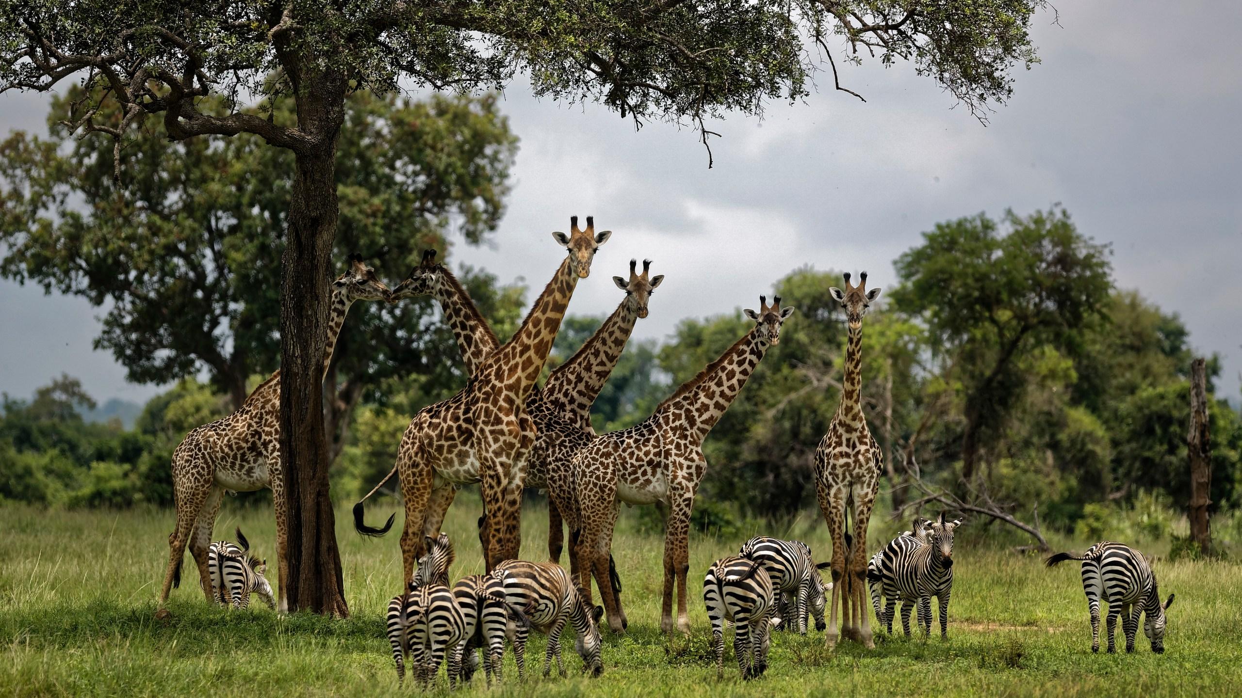 Trump Giraffes Endangered_1556206286876