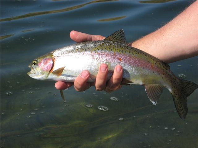 Rainbow trout_89903
