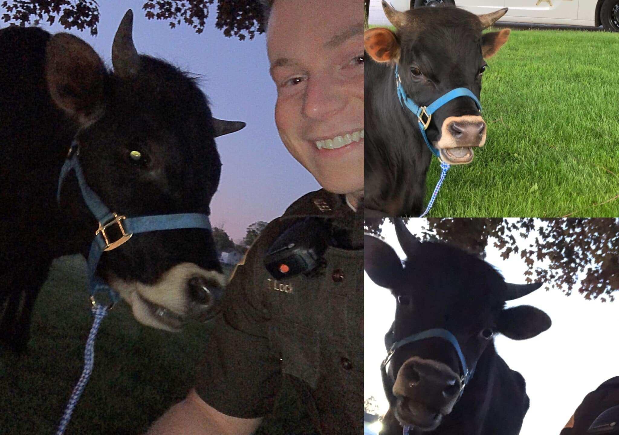 deputy and cow_1557938339257.jpg.jpg