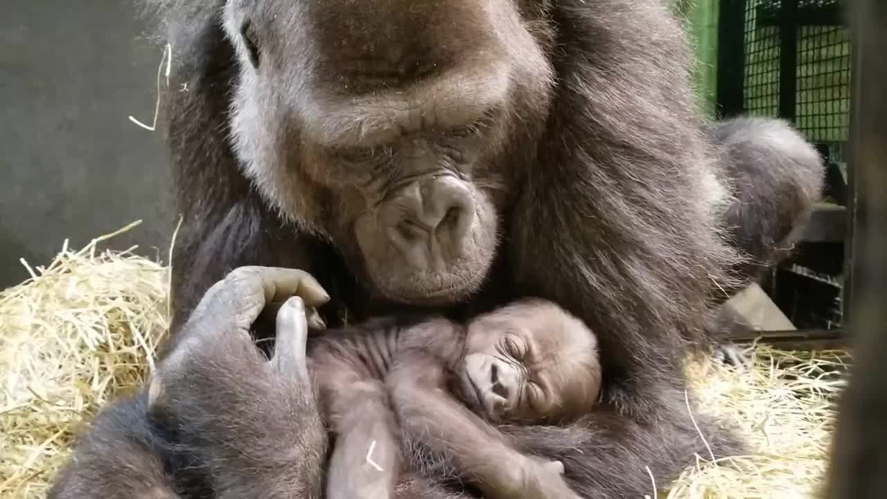 Video Of One Month Old Baby Gorilla Shared By The Columbus Zoo And Aquarium Wane 15
