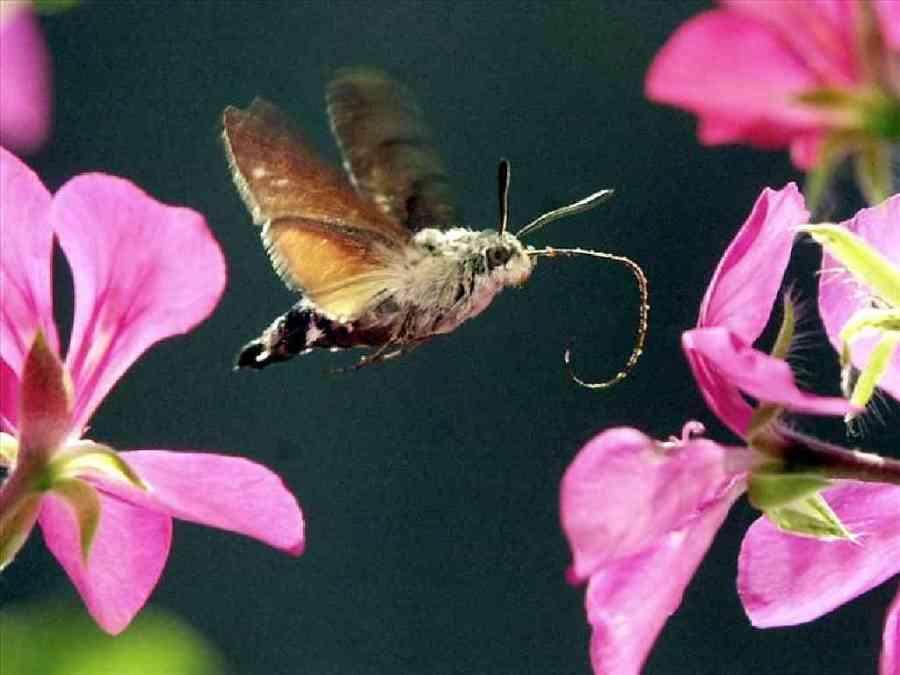 Hummingbird hawk-moth hovers over a flower.