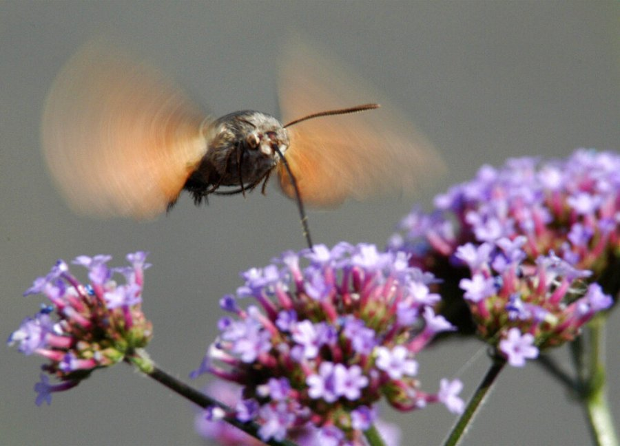 An insect hovers above a verbena in the garden of the Philippsruhe castle in Hanau near Frankfurt, Germany, Thursday, Aug. 7, 2003.