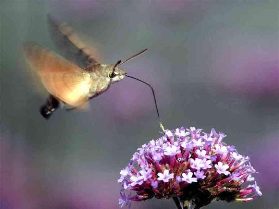A hummingbird hawk-moth hovers over purple flowers.