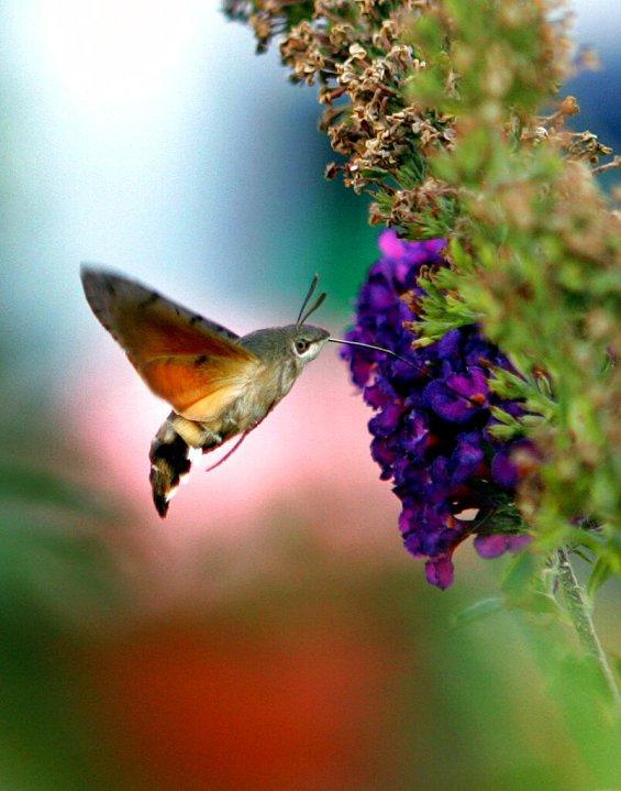 A Hummingbird Hawk-Moth (Macroglossum stellatarum) sucks the nectar of a buddleia blossom, Monday, Sept. 5, 2005 in a garden in Frankfurt, Germany. (AP Photo/Michael Probst)