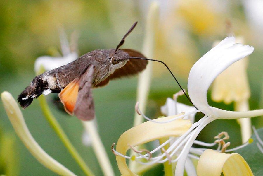 A hummingbird hawk-moth (Macroglossum stellatarum) drinks nectar as it hovers over a blossom of honey suckle in Nauen, Germany, Monday, June 26, 2017. (AP Photo/Ferdinand Ostrop)